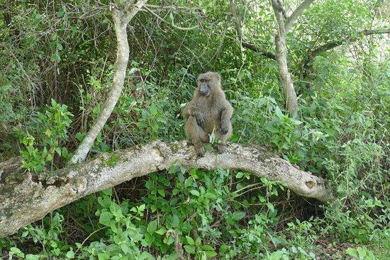 olive-baboon-at-lake
