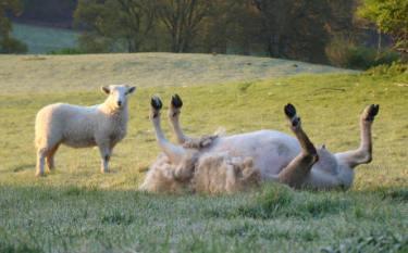 sheeponback1